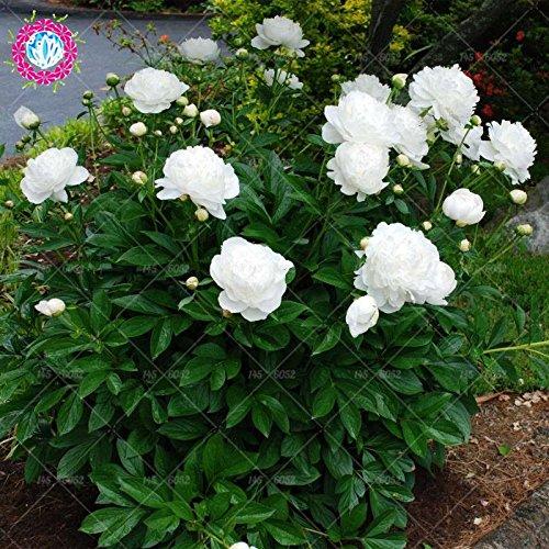 10pcs peonía blanca semillas de árboles Paeonia lactiflora Semillas semillas de flores perennes del jardín raras Bonsai en maceta de flores 1 plants.semillas