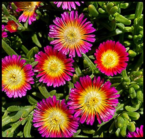 50 Pcs Rare Plant Seeds Succulent Seeds Garden Bonsai - Delosperma(Hot Pink Wonder)