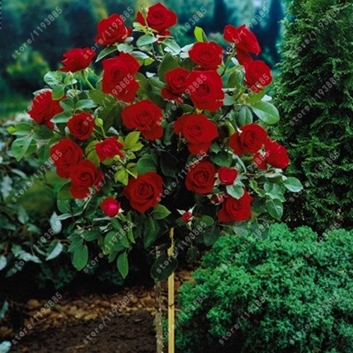 100pcs / bag Rosenbaum, rosafarbene Samen Bonsai Blumensamen Exotische Samen Gartendeko Topfpflanze für 11 Hausgarten