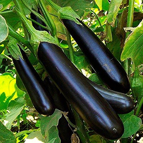 Graines de légumes Noir Aubergine Long - Pop culture biologique Heirloom NON-OGM