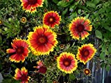 Niedrige Rot-Gelbe Kokardenblume Gaillardia aristata 'Kobold' 50 Samen
