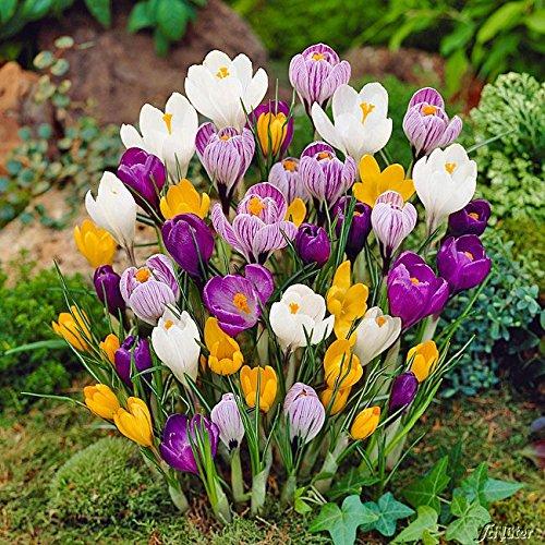 Krokus Zwiebeln Mischung - 30 Blumenzwiebeln (Crocus) - Krokusse zum Pflanzen, mehrjährig, winterhart mit Blumen-Blüten in weiß-violett gestreift, gelb, lila, weiß und blau-weiß von Garten Schlüter