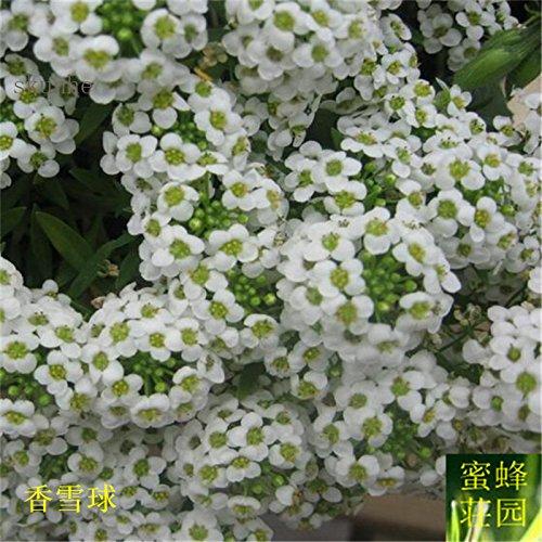 Hornspear Graines de moutarde Graines Petite fleur blanche Jade papillon taux de germination des graines environ 100 graines 1