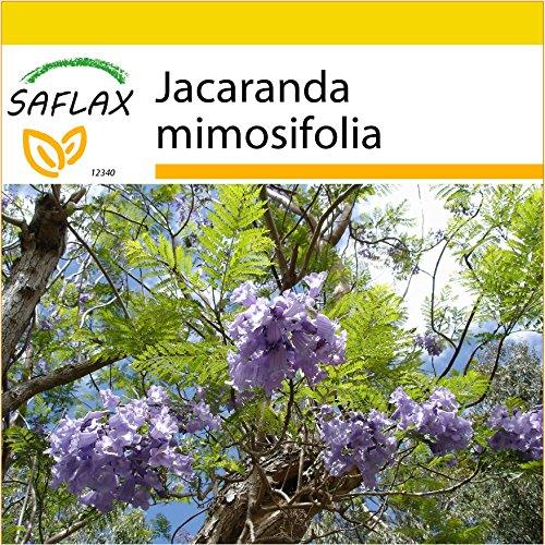SAFLAX - Anzucht Set - Jacaranda - 50 Samen - Mit Mini-Gewächshaus, Anzuchtsubstrat und 2 Töpfen - Jacaranda mimosifolia