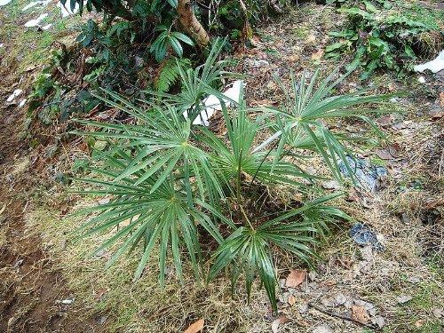 Washington Palme (Washingtonia filifera) 50 frische Samen (Winterharte Palme)