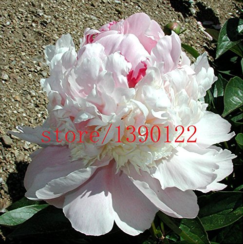 10pcs rares graines de pivoine, Top Brass pivoine, 5 couleurs au choix des graines de bonsaï de fleurs, fleur nationale chinoise, plante de maison jardin