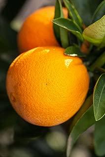 Best dwarf navel orange trees for sale Reviews