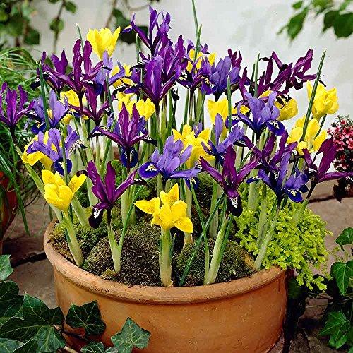 Bolly Bulbs - Mixed Dwarf Iris Reticulata (25 Bulbs)