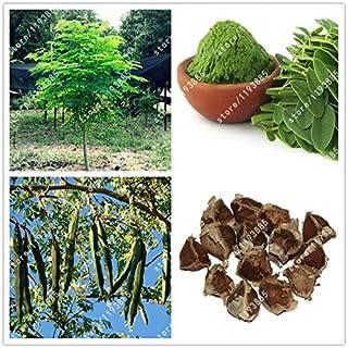 20 Graines Moringa Oleifera