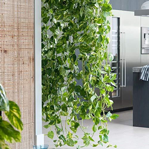 Keland Garten - Rarität Goldene Efeutute Zimmerpflanze hängend als Schadstofffilter Raumteiler Ampelpflanze, Blumensamen winterhart mehrjährig in Büroräumen/Schlafzimmer