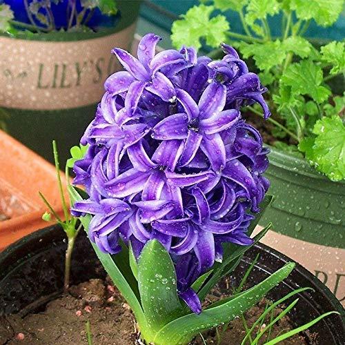 ScoutSeed 120 STÜCKE Heiße Bonsai Lila Hyazinthe Samen Balkon Orientalis Blume Gartenarbeit