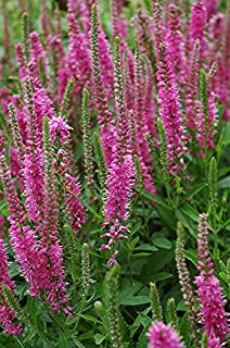 Red Fox Spiked Speedwell - Rotfuchs - Rooted Perennial 1 Quart Pot - 1 Plant