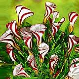 20x Oxalis versicolor   Rot-weißer Sauerklee   Mehrjährige Gartenpflanzen   Blumenwiebeln Winterhart Ø 4-5cm