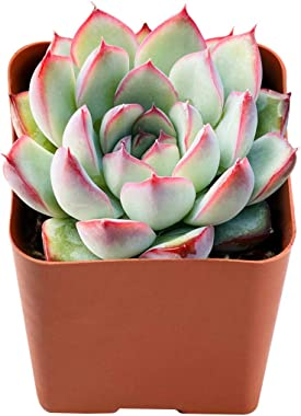 Succulent Plants Echeveria Pulidonis, Fully Rooted in 2 inches Planter Pot, Easiest Houseplant Best for Home Indoor Outdoor D