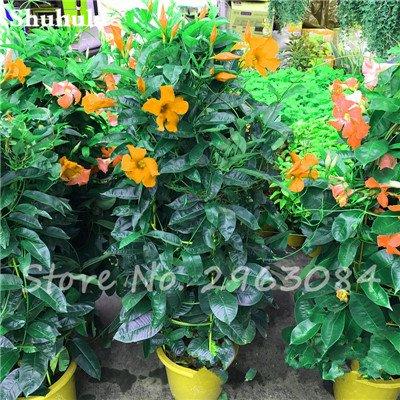 50 Pcs / sac Rare Dipladenia Sanderi Graines vivaces Escalade Mandevilla Sanderi fleurs en plein air Jardin Bonsai plantes ornementales 15