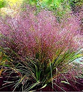 HOT !! 100 Purple LOVEGRASS Eragrostis Spectabilis Native Love Grass Flower Seeds