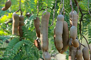 HOT!! - Sweet Tamarind TAMARINDUS Indica 10 Seeds from Thailand