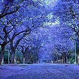 Rare Jacaranda Mimosifolia semillas de árbol bonsái árbol jacaranda flores plantas ornamentales para macetas, 30 unidades