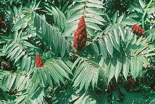 HeirloomSupplySuccess TM 100 Heirloom Staghorn Sumac Rhus typhina Seeds