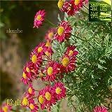 semi di piretro repellente per erba insetto fiore bianco semi crisantemo colorati circa 20 semi di 3