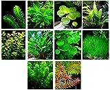 40 Live Aquarium Plants/11 Different Kinds - Java Fern, Hygrophila, Rotala, Ammania, Cryptocoryne, Bacopa, Cabomba More! Great Plant Sampler 25-40 gal. Tanks!