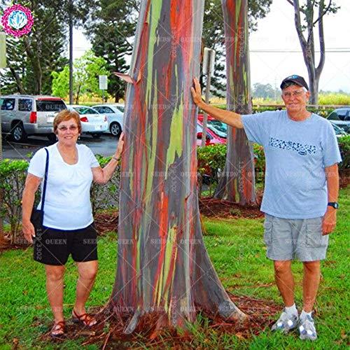 Samen-Paket: 200pcs / Bag seltene Regenbogen Eucalyptus Deglupta, Samen, Bonsai Seed für Haus & amp; Garten Seeding: 3