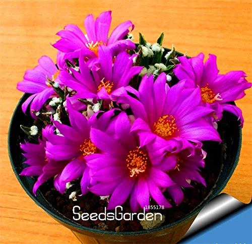 Nouvelle arrivée Celestial Being graines - cactus - graines de plantes en pot famille anti-rayonnement 10 graines / Bag, # MWVI9Q