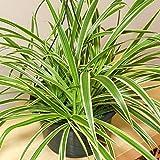 Zoom IMG-2 chlorophytum variegatum di alta qualit