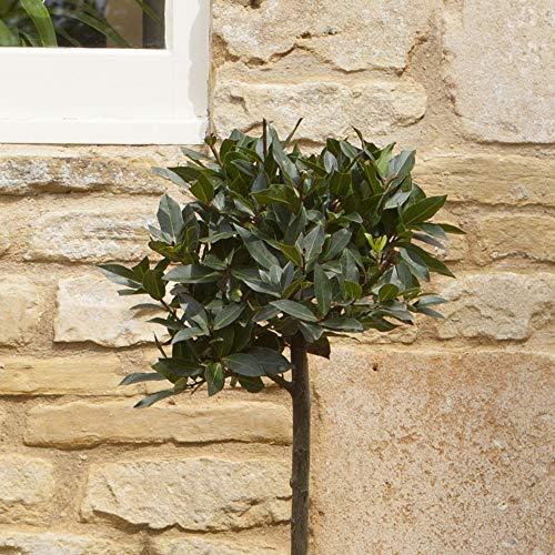 Bay Tree Standard 70-80cm tall - Single