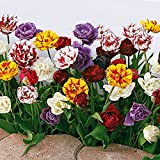 20x Tulipa Decadent Doubles   Doppelte Tulpenzwiebeln   Gemischte Farben   Mehrjährige blühende Pflanzen   Ø 11-12cm
