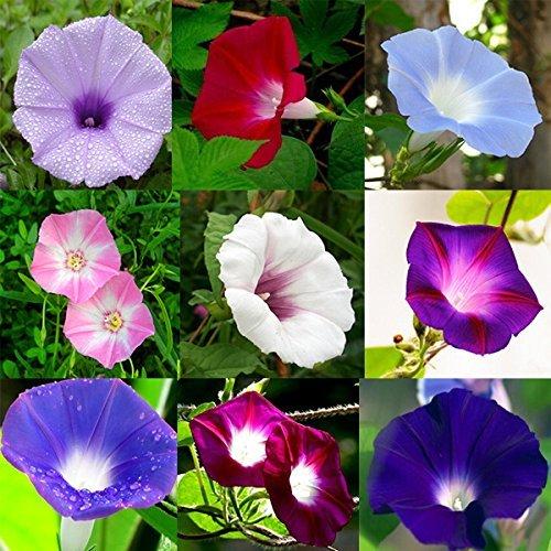 100pcs colori misti Semi Dwaft Petunia fiori Calibrachoa