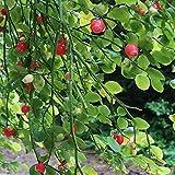 zumari Planta de arbusto de arándano rojo 25 piezas