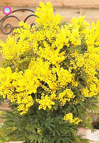 50PCS Bonsai d'or Graines de Mimosa Acacia Belle Baileyana jaune mimosa Graines de fleurs vivaces Jardin des plantes aromatiques
