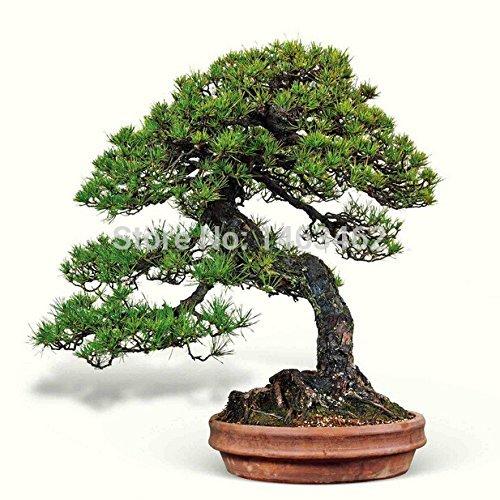 50PCS / sac japonais graines de pin, plantes d'intérieur en pot paysage Pine Tree Seeds Livraison gratuite