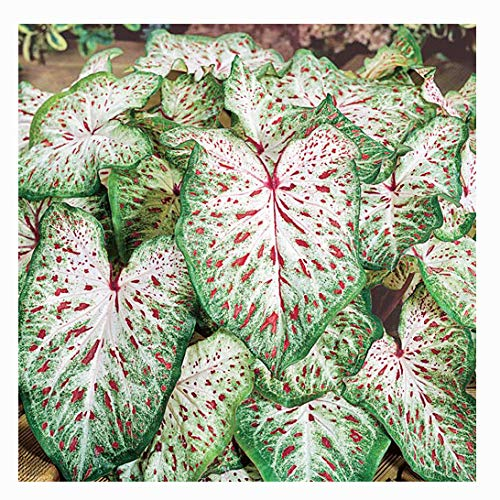 Dwarf Gingerland Caladium - White with Red Marks - Top Size Roots - Zones 9-11