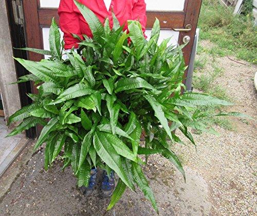 WFW wasserflora GIGANT MUTTERPFLANZE Javafarn/Microsorum pteropus