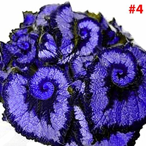 Rosepoem Belles graines de bégonia La plantation est simple Fleurs romantiques pour la maison et le jardinage 50PCS