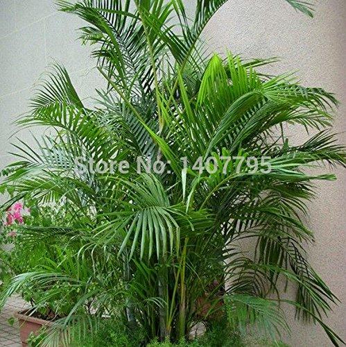 Graines Feuillage de plantes, graines, Madagascar palmiers Bonsai 6pcs de semences d'arbres