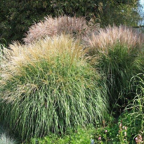 500 graines fraîches - Miscanthus graminée Graines