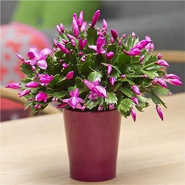 "American Plant Exchange Christmas Cactus Zygocactus Live Plant, 6"" Pot, Assorted Colors Growers Choice"