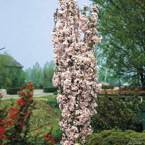 Säulen-Zierkirsche \'Amanogawa\'