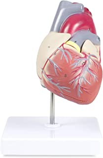 Vision Scientific VAC405-AN Life Size Human Heart Model - 2 Parts | Magnetically Connected | Shows Heart Chambers, Valves & Major Vessels | Labelled Diagram Included