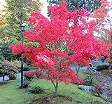 Plant World Seeds - Acer Palmatum 'Osakazuki' Seeds