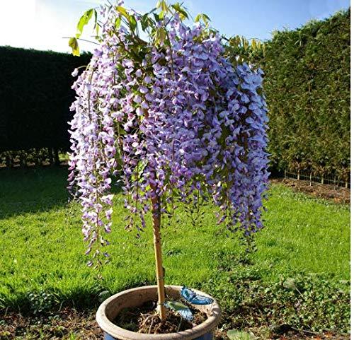 Tomasa Samenhaus- Blauregen Wisteria Sinensis Samen winterhartes Glyzinienbaum Stämmchen, Pflanzen Samen Wisteria sinensis Glycinie Zierstämmchen