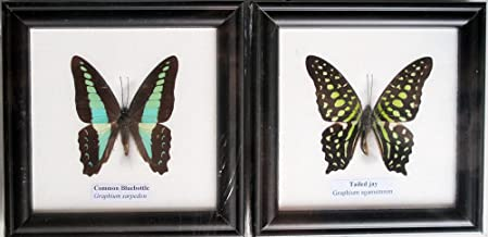 FRAMED REAL COMMON BLUEBOTTLE AND TAIL JAY BUTTERFLY DISPLAY INSECT TAXIDERMY