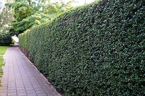 Liguster Atrovirens Heckenpflanzen 50-80 cm hoch 2-3 Triebe im Rabatt-Paket-Liguster Atrovirens Wurzelware - floranza® 10 Stück