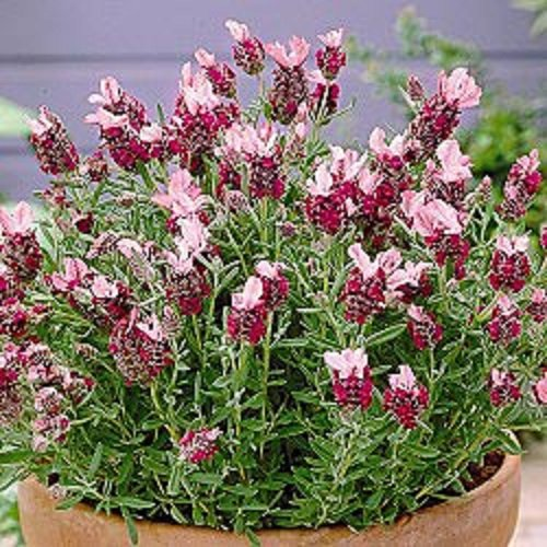 30+ Red Lavender Flower Seeds /Perennial