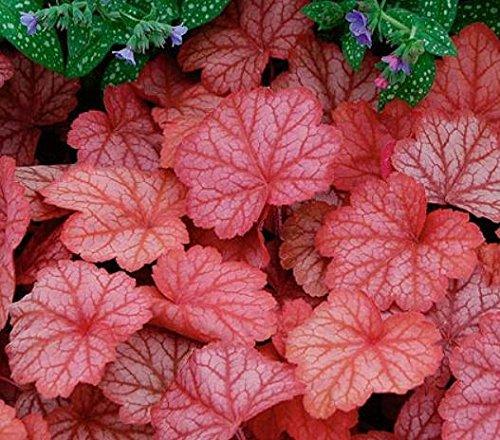 20 pcs / lot de graines de Heuchera, Coral Flower, Heuchère coloré bonsaï feuille jardin à la maison DIY livraison gratuite