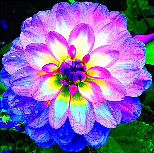 Sumpf frisch 20 Stück Dahila Blumensamen zum Pflanzen gemischt