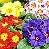 Primula, semi primaverili inglesi mix - Primula acaulis - 140 semi - 140 semi #3